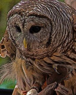 2018.12.08 Sunrise Wildlife Rehabilitation at Devil's Millhopper Barred Owl 1 art