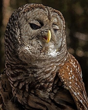 2018.12.08 Sunrise Wildlife Rehabilitation at Devil's Millhopper Barred Owl 9 art