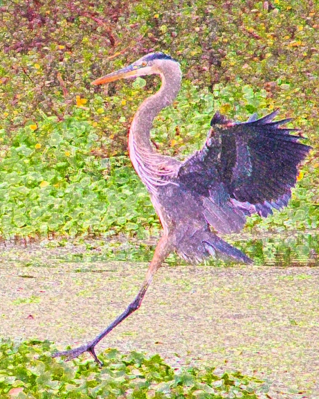 2019.12.29 La Chua Trail Great Blue Heron 2.art
