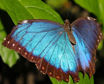 2017.02.20 Butterfly Rainforest Blue Morpho 1