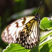 2017.02.20 Butterfly Rainforest Butterfly 2