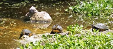 2017.05.06.La Chua Turtles