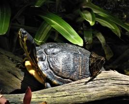 2017.05.14 Butterfly Rainforest Turtle