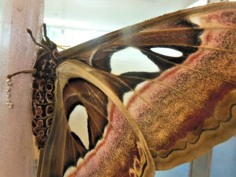 2017.06.03 Butterfly Rainforest Atlas Moth 2