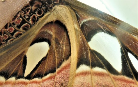 2017.06.03 Butterfly Rainforest Atlas Moth 3