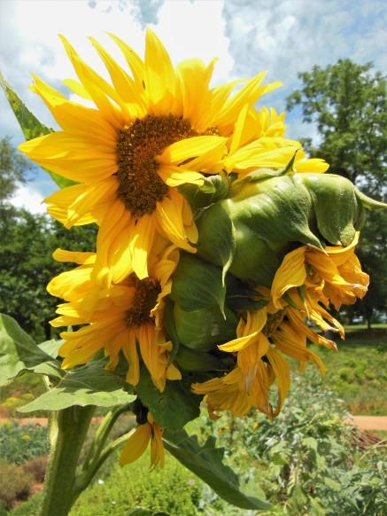 2017.06.25.Monticello Sunflowers 1