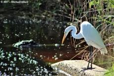 2017.07.11 La Chua Trail Egret 3.CR