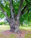 2017.07.15 Montpelier Madison Era Oak 1