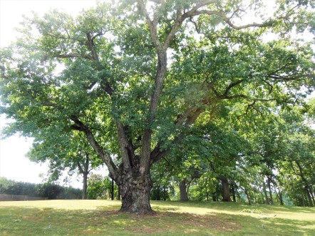 2017.07.15 Montpelier Madison Era Oak 2