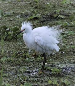 2017.08.19 La Chua Trail Egret 1
