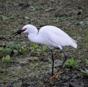 2017.08.19 La Chua Trail Egret 2