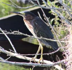 2017.08.19 La Chua Trail Green Heron 1