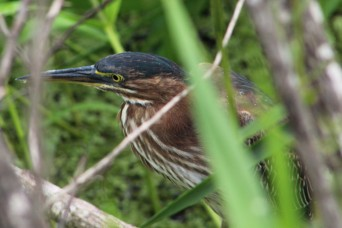 2017.09.02 La Chua Trail Green Heron 2