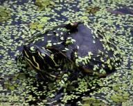 2017.09.02 La Chua Trail Turtle 1