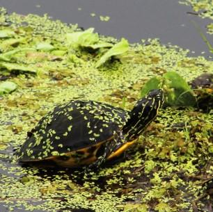 2017.09.02 La Chua Trail Turtle 2