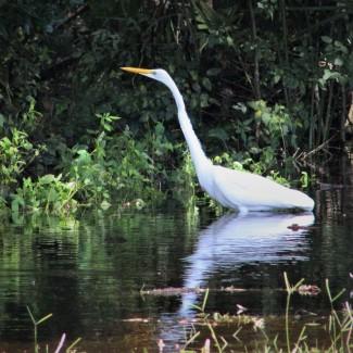 2017.09.12 Earl Powers Park Egret 1
