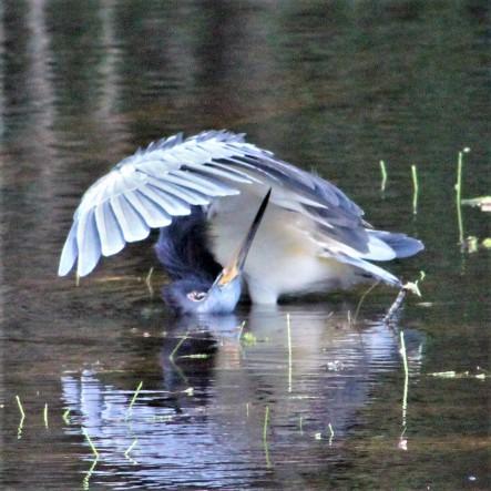 2017.09.12 Earl Powers Park Tri-Colored Heron 1