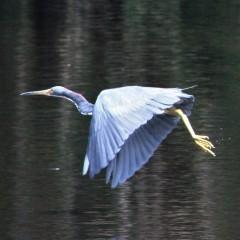 2017.09.12 Earl Powers Park Tri-Colored Heron 2