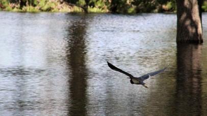 2017.09.12 Earl Powers Park Tri-Colored Heron 4