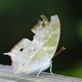 2017.09.16 Butterfly Rainforest Butterfly 3