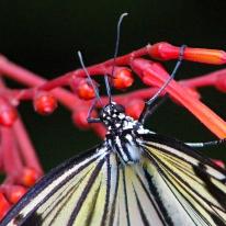 2017.09.16 Butterfly Rainforest Butterfly 5