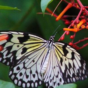 2017.09.16 Butterfly Rainforest Butterfly 6