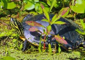 2017.11.05 La Chua Trail Turtle 1