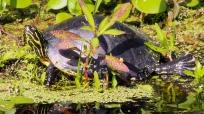2017.11.05 La Chua Trail Turtle 2