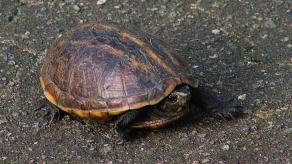 2017.11.11 Payne's Prairie Common Musk Turtle