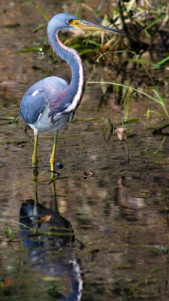 2017.11.20 La Chua Trail Tri-Colored Heron 1