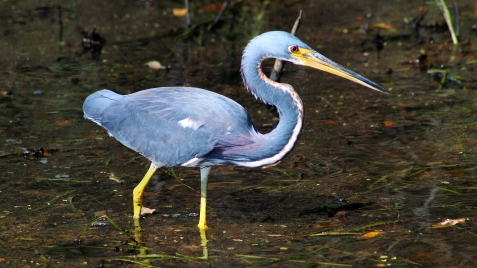 2017.11.20 La Chua Trail Tri-Colored Heron 2