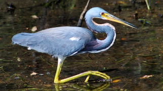 2017.11.20 La Chua Trail Tri-Colored Heron 3