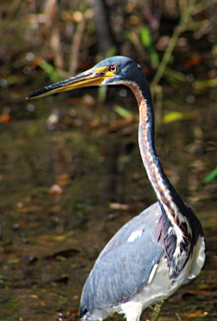2017.11.20 La Chua Trail Tri-Colored Heron 4