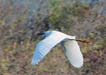 2017.11.24 La Chua Trail Egret 1
