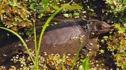 2017.11.24 La Chua Trail Softshell Turtle 1