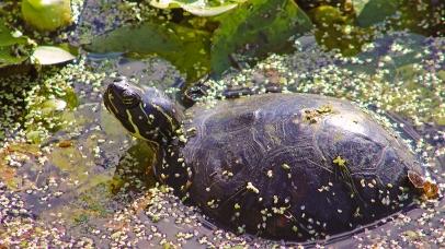2017.11.24 La Chua Trail Turtle 1