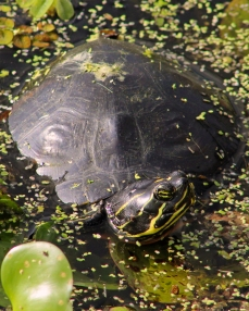 2017.11.24 La Chua Trail Turtle 2