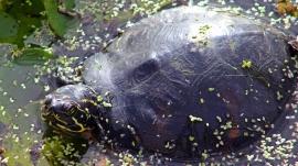 2017.11.24 La Chua Trail Turtle 3