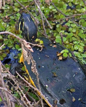 2017.11.24 La Chua Trail Turtle 4