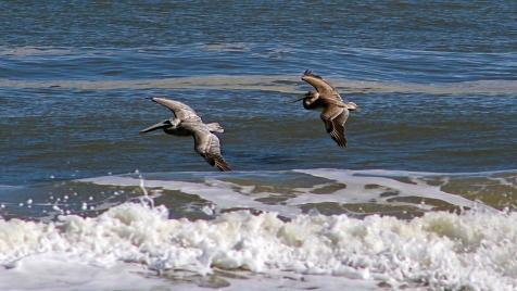2017.11.25 Anastasia State Park Pelicans 3