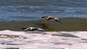 2017.11.25 Anastasia State Park Pelicans 4