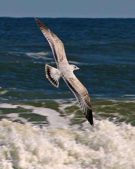 2017.11.25 Anastasia State Park Ring-billed Gull 1