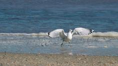 2017.11.25 Anastasia State Park Ring-billed Gull 2