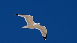 2017.11.25 Anastasia State Park Ring-billed Gull 6
