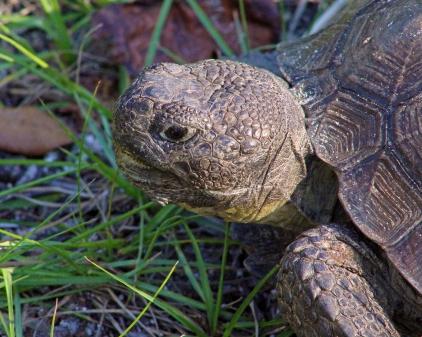 2017.11.25 Anastasia State Park Tortoise 1
