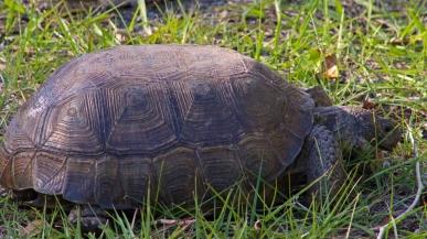 2017.11.25 Anastasia State Park Tortoise 2