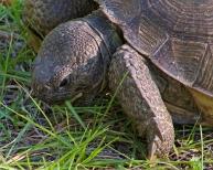 2017.11.25 Anastasia State Park Tortoise 3