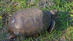 2017.11.25 Anastasia State Park Tortoise 4