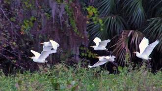 2017.12.09 La Chua Trail Cattle Egrets 1