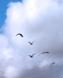 2017.12.09 La Chua Trail Cattle Egrets 3.cropped